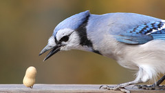 Balancing Peanut (blazer8696) Tags: 2018 blja bluejay brookfield corvidae ct cyacri connecticut cyanocitta cyanocittacristata ecw obtusehill passeriformes t2018 tabledeck usa unitedstates blue cristata jay img1547