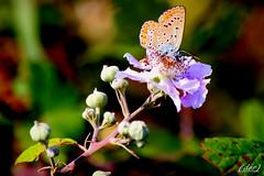 ___ leggera sul fiore! (erman_53fotoclik) Tags: farfalla liore baterflai ali bacche rovi petali macro ramo ermanno canon eos 500d