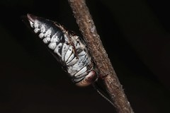 Coelioxys afra f - 14 X 2018 (el.gritche) Tags: hymenoptera france 40 garden megachilidae coelioxysafra female sleeping