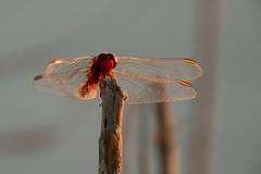 Landing (explore) (Raquel Borrrero) Tags: dragonfly libélula stick wings insect natural naturephotography natura damselfly sunlight insecto alas naturaleza pose red nature