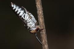 Coelioxys afra f - 15 X 2018 (el.gritche) Tags: hymenoptera france 40 garden megachilidae coelioxysafra female sleeping