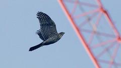 cooper's hawk (juvenile) (quadceratops) Tags: massachusetts nature boston common coopers hawk accipiter
