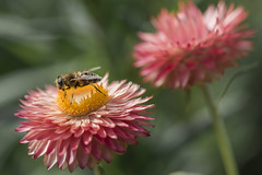 En pleine dégustation (Titole) Tags: insect everlastingflower titole nicolefaton shallowdof pink