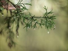 Cedar (Donna Tomlin) Tags: longhunterstatepark tennessee cedartree cedar autumn taukar50mmf14 vintagelens nature