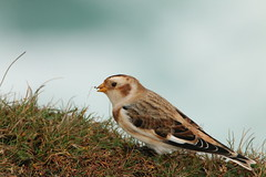 IMG_3072 (monika.carrie) Tags: monikacarrie wildlife scotland isleoflewis snowbunting