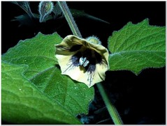 Another View at Chinese Lantern's Flower (MaxUndFriedel) Tags: nature garden physalis flower blossom night fall autumn october