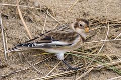 Snow Bunting (Yvonne Alderson) Tags: snow bunting hartlepool beach seed sand bird