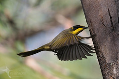 Yellow-tufted Honeyeater (VS Images) Tags: lichenostomusmelanops honeyeaters meliphagidae yellowtuftedhoneyeater birds bird birding feathers wildlife wildlifephotography animals avian australianwildlife australianbirds australia nsw nature ngc naturephotography vsimages vassmilevski olympus olympusau olympusinspired getolympus m43 omd hovering bif flight birdsinflight