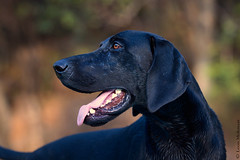 German Shorthaired Pointer (leendert3) Tags: leonmolenaar southafrica phalaborwa germanshorthairedpointer mammals gundog coth coth5