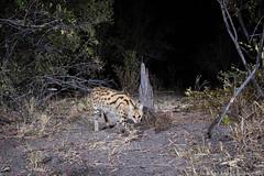 Serval (Will Burrard-Lucas | Wildlife) Tags: serval