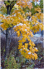 Hanging On (Sun~Lover) Tags: lisle illinois fall autumn snow frost leaves colors changing yellow golden arboretum explore 2018