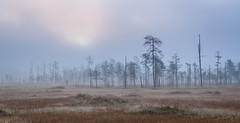 - The Mist - (teetaira) Tags: mist fog swamp autumn sky tree nationalpark finland kansallispuisto tiilikka suo sumu vastavalo backlit kelo syksy