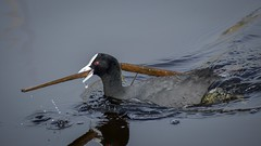 Coot with nesting material (njohn209) Tags: birds d500 nikon nz