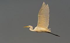 Western Great Egret: Ardea alba (renzodionigi) Tags: pelecaniformes ardeidae silberreiher sølvhejre garcetagrande grandeaigrette mjallhegri aironebiancomaggiore garçabrancagrande