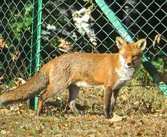 Fox (Glass Angel) Tags: fox sheffield uk southyorkshire