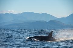 Residents (Nedko Nedkov) Tags: bc britishcolumbia canada vancouverisland victoria resident orca wale