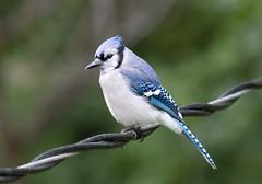 Blue Jay (Laura Erickson) Tags: bluejay stlouiscounty corvidae birds duluth peabodystreet passeriformes species places minnesota cyanocittacristata