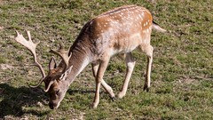 fallow deer (JOHN BRACE) Tags: dama fallow deer seen british wildlife centre surrey england