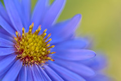 Aster detail (pstenzel71) Tags: blumen natur pflanzen aster darktable flower bokeh