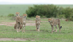 Cheetah's - Acinonyx jubatus (rosebudl1959) Tags: 2017 kenya masaimara zebraplains fastfive cheetahs november