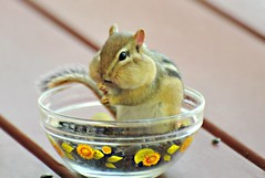 """~This is what I call really getting """"into"""" your food..~ (nushuz) Tags: animal chipmunk chippie sittinginabowloffood sooocute stuffedcheeks myporch nature vermont oneof4 sunflowerbowl"""