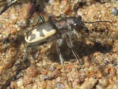 Cicindela formosa generosa, male (tigerbeatlefreak) Tags: cicindela formosa generosa insect tiger beetle coleoptera cicindelidae wisconsin