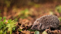 Igel :-) (St1908) Tags: fuji fujifilm xt2 xf56mm 12 offenblende abendlicht herbt autumn blätter leaves natur nature animal tier igel bokeh