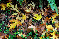 2018-10-10 Whistle Lake Trail 20 (04) (2048x1360) (-jon) Tags: anacortes skagitcounty skagit fidalgoisland sanjuanislands washingtonstate washington pnw pacificnorthwest salishsea pugetsound acfl anacortescommunityforestlands whistlelake lake hike hiking walk walking trail path 20 nikon nikond90 fall season maple mapleleaf leaf color colour tree woods forest a266122photographyproduction trek