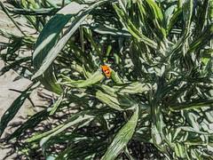 Aphid Hunter (p) (davidseibold) Tags: america animal bakersfield california insect jfflickr kerncounty ladybug nature painting photosbydavid plant platoct postedonflickr postedonmewe unitedstates usa
