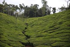 Munnar (VincenzoMonacoo) Tags: canon 6d tamron 2470 india munnar kerala tea plantation travel world nature culture art nikon leica backpacking tropic