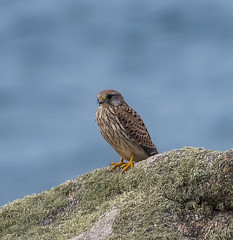 Scilly female Kestrel posing