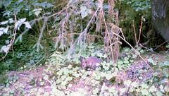 1975 hoh river (foundin_a_attic) Tags: 1975 bunny dinner