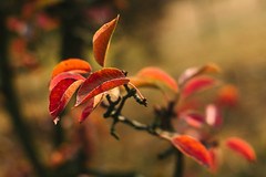 The colours of autumn (Inka56) Tags: orange flickrfriday autumn leaves branch bokeh 2dwf