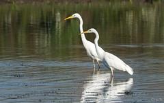 Grote Zilverreiger - Western Great Egret - Ardea alba-198084 (Djien) Tags: vogels oostvaarderplassen
