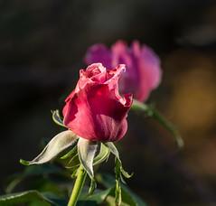 2-4-1. (Omygodtom) Tags: flower flickr red rose bokeh dof nature nikon nikkor 7dwf coth5 composition lowkey macro nikon70300mmvrlens
