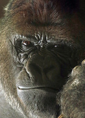 Western lowlandgorilla Bokito Blijdorp 094A0217 (j.a.kok) Tags: gorilla westelijkelaaglandgorilla westernlowlandgorilla lowlandgorilla laaglandgorilla animal africa afrika aap ape mammal monkey mensaap primate primaat blijdorp zoogdier dier bokito