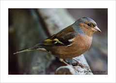 Chaffinch (prendergasttony) Tags: chaffinch nikon d7200 closeup nature wildlife outdoors