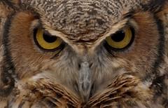 Who Goes There?! (Slow Turning) Tags: bubovirginianus greathornedowl bird raptor eyes closeup stare headon autumn fall southernontario canada halloween