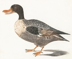 Northern shoveler by Johan Teyler (1648-1709). Original from the Rijks Museum. Digitally enhanced by rawpixel. (Free Public Domain Illustrations by rawpixel) Tags: otherkeywords alone animal antique art avian beak beautiful bird claw design drawing duck feather feathers fowl illustrated illustration johanteyler life mallard name nature old one ornithology painting plumage plume poultry quack retro single species stand standing vintage waterbird wild wildlife wing