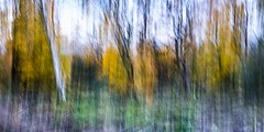 St Ives 4 (Nick Hirst) Tags: icm intentional camera movement bingleycameraclub st ives trees