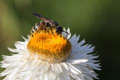 Pollination (DanielaC173) Tags: bug insect pollinator pollination flower white strawflower xerochrysum xerochrysumbracteatum colpaquinquecincta colpa scoliidae