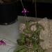 Nagelia purpurea – Merle Robboy