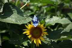 Paper Crane and Sunflower (Eridanus 21) Tags: paper crane sunflowerツルとヒマワリ sunflower origamipaper おりがみ 折り鶴 ツル ヒマワリ 折り紙 花 flower flowerphotoツル origami papercrane 花写真 flowerphoto 花が好き