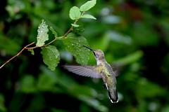 Hummingbird in flight (justkim1106) Tags: hummingbird flight birdinflight hummingbirdinflight nature naturebokeh beyondbokeh texasbird texaswildlife wings motionblur