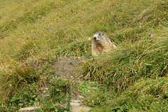 Salm Hütte - Glocknerhaus 2018 (pilot_micha) Tags: 31082018 alpen alpenmurmeltier august2018 bergwanderung kärnten marmotamarmota murmeltier nagetier sommer säugetier tier urlaub wanderung alps animal austria holiday summer walking österreich