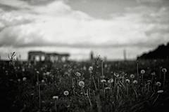 3301 (Elke Kulhawy) Tags: blackandwhite lensbaby art landscape kunst köln cologne monochrome unscharf verschwommen soul rhein wiese krahnhäuser rheinwiese poll