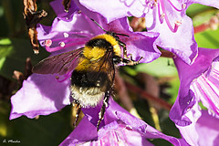 Golosa (A. Muiña) Tags: color insecto insect abeja bee planta plant airelibre freshair desenfoque bokeh macrofotografía garden jardín macro naturaleza nature animales animals flor nikon nikond800