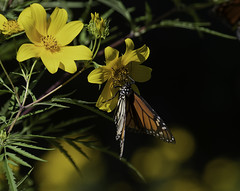 MonarchButterfly_SAF5841 (sara97) Tags: danausplexippus butterfly copyright©2018saraannefinke flowers insect missouri monarch monarchbutterfly nature photobysaraannefinke pollinator saintlouis towergrovepark urbanpark