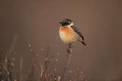 stonechat (leonardo manetti) Tags: uccello bird nature red winter colours naturephotography field natural nikkor countryside green morning black stonechat sunset d850 macro albero
