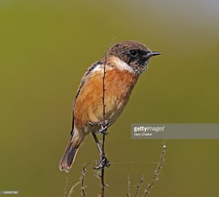 Stonechat male (Gary Chalker, Thanks for over 3,000,000. views) Tags: stonechat bird pentax pentaxk3ii k3ii pentaxfa600mmf4edif fa600mmf4edif fa600mm 600mm